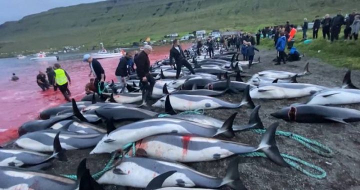 """""""Never before have so many dolphins and pilot whales been killed in the Faroe Islands massacre"""""""