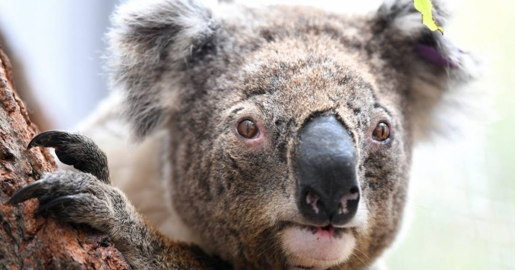 The number of koalas living in the wild has fallen dramatically in three years |  Abroad