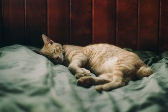 cat in bed scientific research