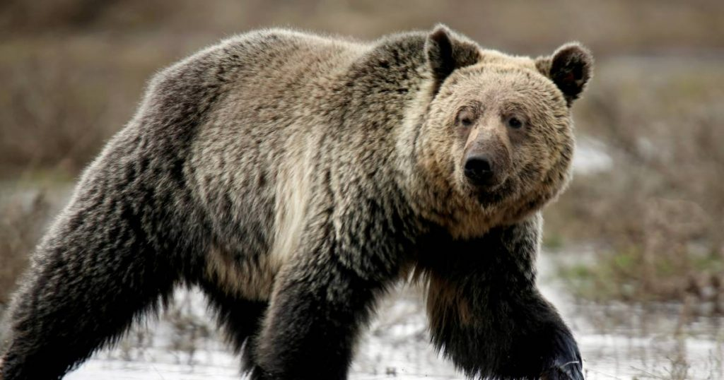 American gets too close to the bear, almost gets attacked and gets jail time |  Abroad
