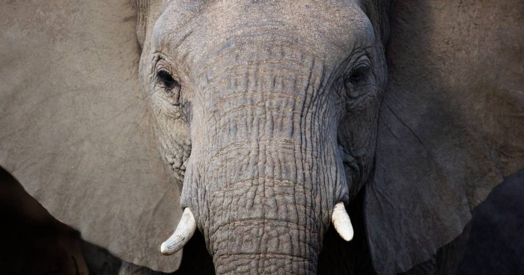 Elephant kills poacher in Kruger Park in Africa, rest of group leaves behind trampled man    Abroad