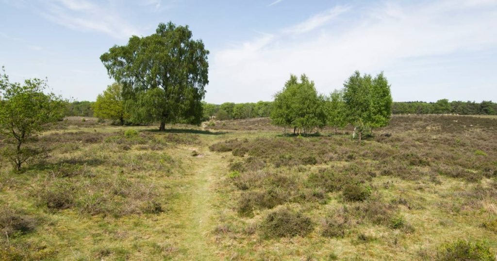 Nature around Wolfheze suffers from popularity, Natuurmonumenten wants to close some of the hiking trails    Arnhem eo