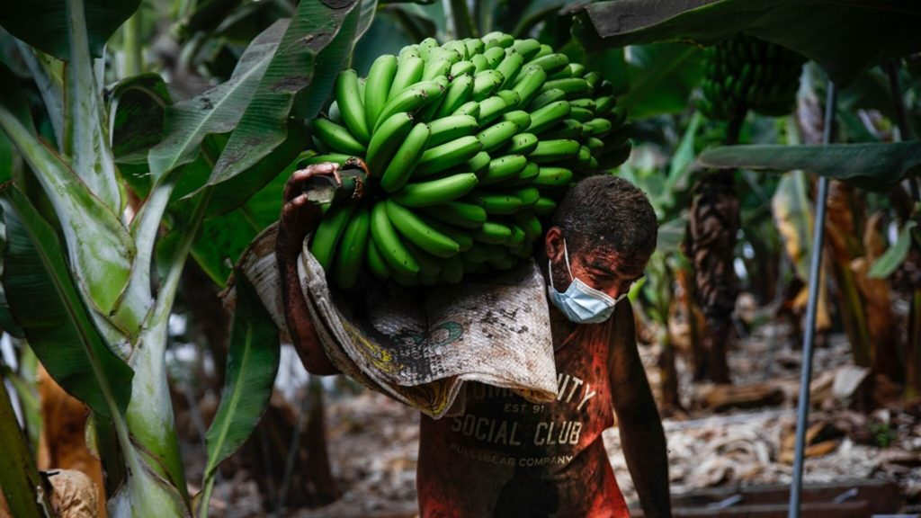 """The volcanic eruption of La Palma threatens yellow gold: """"Our banana plantations are being swallowed up"""""""